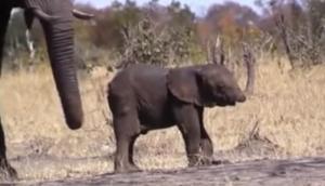 El triste vídeo de un bebé elefante sin trompa conmueve en Youtube