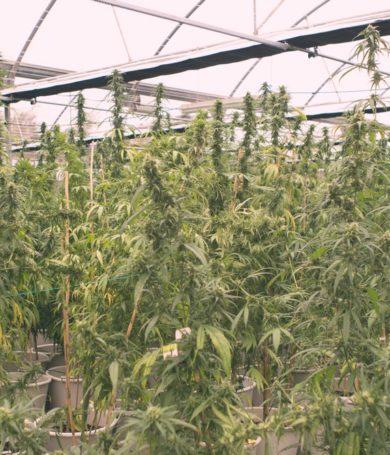 """Con cáñamo gobierno busca disminuir producción de """"marihuana que tiene droga"""""""